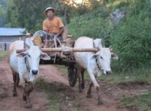Kalaw Trek buffalo cart
